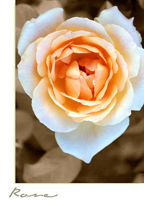 Smooth Angel Rose Print by Holly Kempe