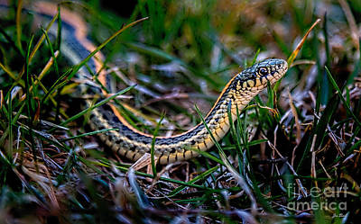 Snake In The Grass Original by Jon Burch Photography