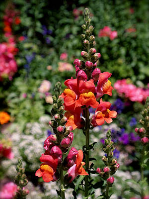 Spring Photograph - Snapdragons by Rona Black
