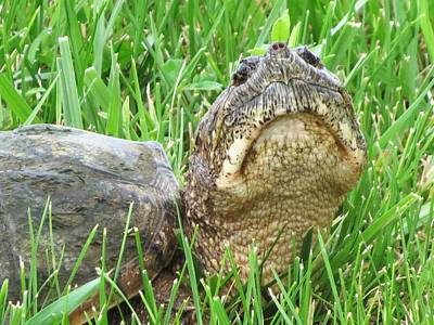 Butterfly Photograph - Snapping Turtle Photo Session by Rebecca Overton