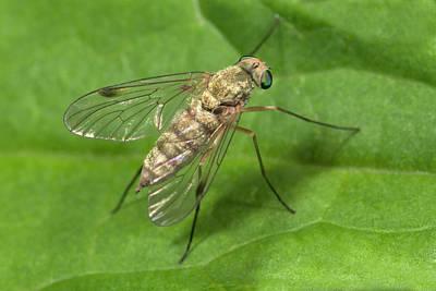Snipe Fly Print by Nigel Downer