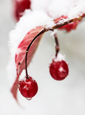 Snow Berries Print by Aaron Aldrich