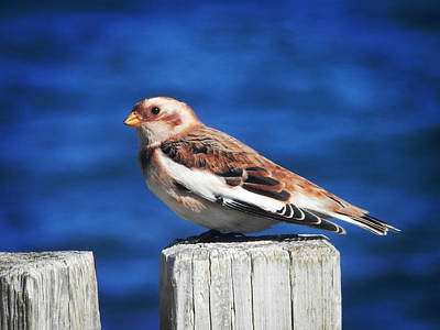 Snow Photograph - Snow Bunting by Zinvolle Art