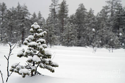 Snow Covered Trees  Print by Lilach Weiss