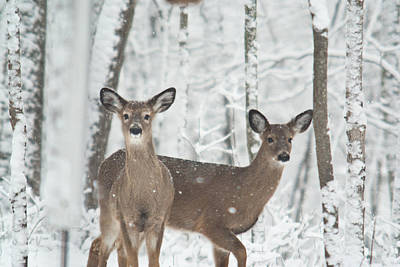 Snow Deer Print by Douglas Barnett