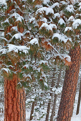 Snow Fills The Boughs Of Ponderosa Pine Print by Chuck Haney