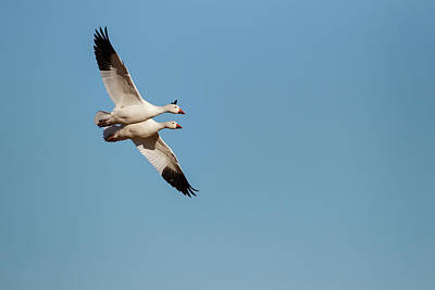 Gamebird Photograph - Snow Geese (chen Caerulescens by Larry Ditto