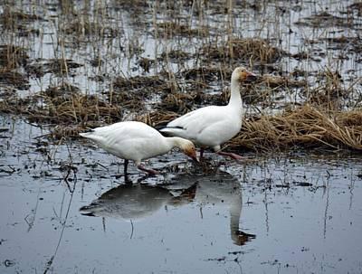 Snow Geese  Print by Debra  Miller