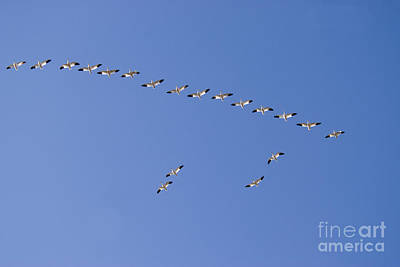 Snow Geese In Flight Print by William H. Mullins