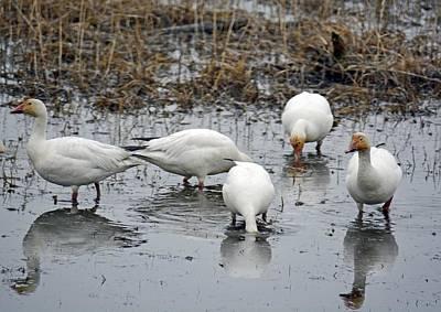 Snow Geese Muddy Waters Print by Debra  Miller