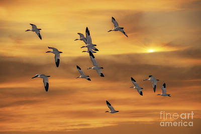 Snow Geese Of Autumn Print by Tom York Images