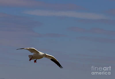 Snow Geese Photograph - Snow Goose Approach by Mike Dawson