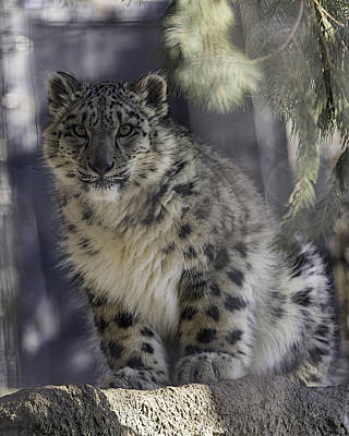 Syracuse Photograph - Snow Leopard 1 by Everet Regal