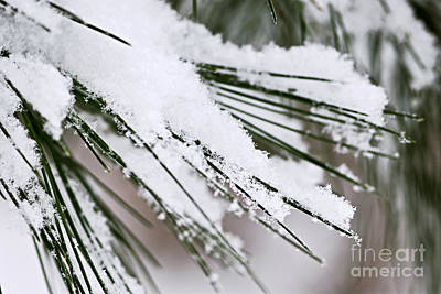 Christmas Natural Photograph - Snow On Pine Needles by Elena Elisseeva