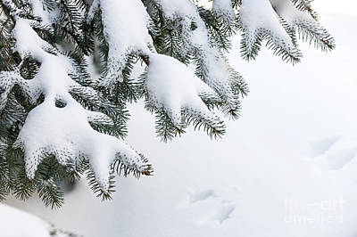 Christmas Natural Photograph - Snow On Winter Branches by Elena Elisseeva