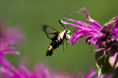 Snowberry Clearwing Moth With Pink Flowers Print by Christina Rollo