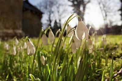 Snowdrop Flowers In The Sunlight Print by John Short