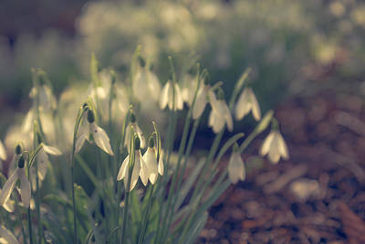 Snowdrop Photograph - Snowdropped by Chris Fletcher