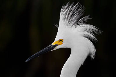 Snowy Egret Crown Print by Andres Leon