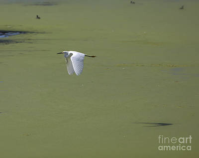 Heron Photograph - Snowy Egret by David Millenheft