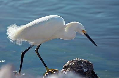 Snowy Egret Feeding Print by Bob Gibbons