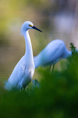 Tropical Photograph - Snowy Egret On A Lush Green Foreground by Andres Leon