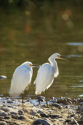 Snowy Egret Pair On The Shore Of Lake Print by Michael Qualls