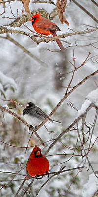 Flurries Photograph - Snowy Grace Cardinals by Betsy Knapp