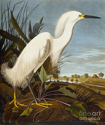 Heron Painting - Snowy Heron Or White Egret by John James Audubon