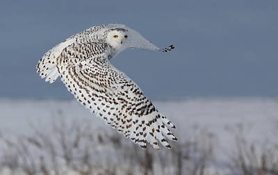 Snowy In Action Print by Mircea Costina Photography