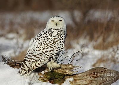 Snowy Owl At Sunset Print by Inspired Nature Photography Fine Art Photography