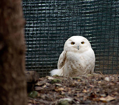 Snowy Owl Print by Courtney Webster