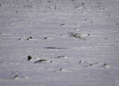 Owl In Flight Photograph - Snowy Owl In Flight 3 by Thomas Young
