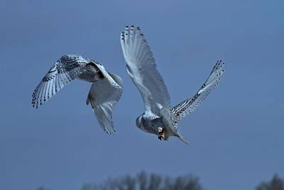 Owl In Flight Photograph - Snowy Owl In Flight by Dan Sproul
