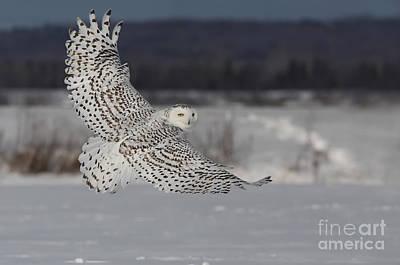 Idea Photograph - Snowy Owl In Flight by Mircea Costina Photography