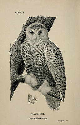 Snowy Owl Print by Philip Ralley