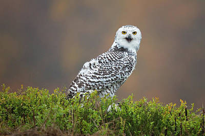 Crying Photograph - Snowy Owl by Milan Zygmunt