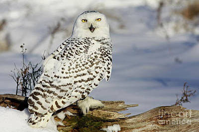 Snowy Owl On A Winter Hunt Print by Inspired Nature Photography Fine Art Photography