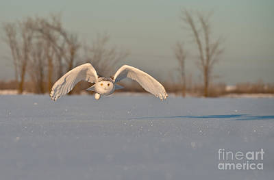 Owl Photograph - Snowy Owl Pictures 6 by Michael Cummings
