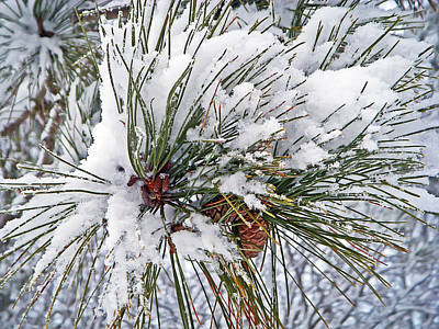 Snowy Pine Print by Aimee L Maher Photography and Art Visit ALMGallerydotcom