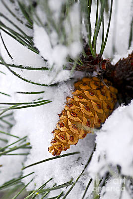 Christmas Natural Photograph - Snowy Pine Cone by Elena Elisseeva