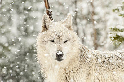 Snow Photograph - Snowy Wolf by Donna Doherty