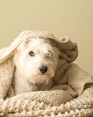 Westie Terrier Photograph - Snuggle Dog by Edward Fielding