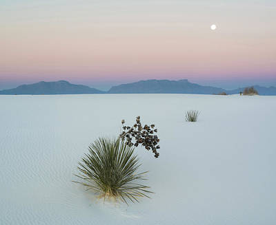 Soaptree Yucca Yucca Elata In Dawn Print by Panoramic Images