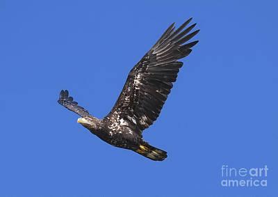 Soar Like An Eagle Print by Sharon Talson