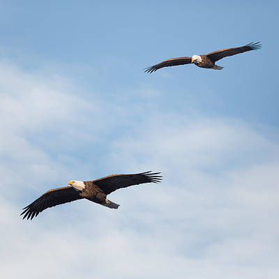 Soaring Bald Eagles Square Print by Bill Wakeley