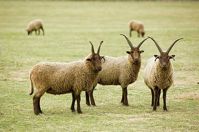 Ram Horn Photograph - Soay Sheep In Leicestershire Uk by Ashley Cooper