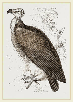 Vulture Drawing - Sociable Vulture by Litz Collection