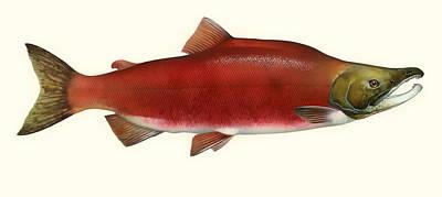 Salmon Drawing - Sockeye Salmon by Mountain Dreams