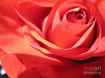 Luminous Drawing - Soft Coral Rose  by Tara  Shalton